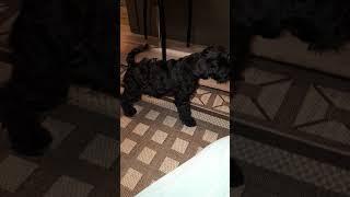 Дрессировка щенка цвергшнауцера