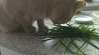 Кот Персиваль употребляет свежие витамины