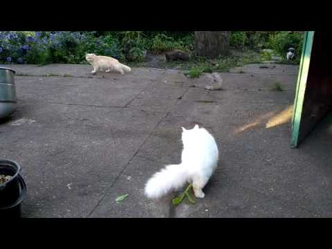Turkish angora doesn't like  a neighbor cat