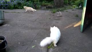 Turkish angora doesn't like  a neighbor cat