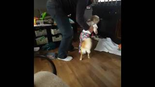 Video Puppy rides with Uncle Cyril. download MP3, 3GP, MP4, WEBM, AVI, FLV Januari 2018