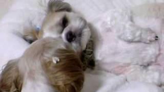 ワンコが寝ているコワンコを舐める。 ペロペロペロ・ペロペロペロと。 ...