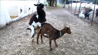 Repeat youtube video Nigerian Dwarf Goat Successful Breeding with Hunch Behavior