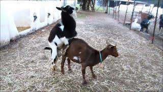 vuclip Nigerian Dwarf Goat Successful Breeding with Hunch Behavior