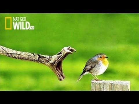 Built For The Kill : The Killer Ambush - National Geographic WILD Documentary