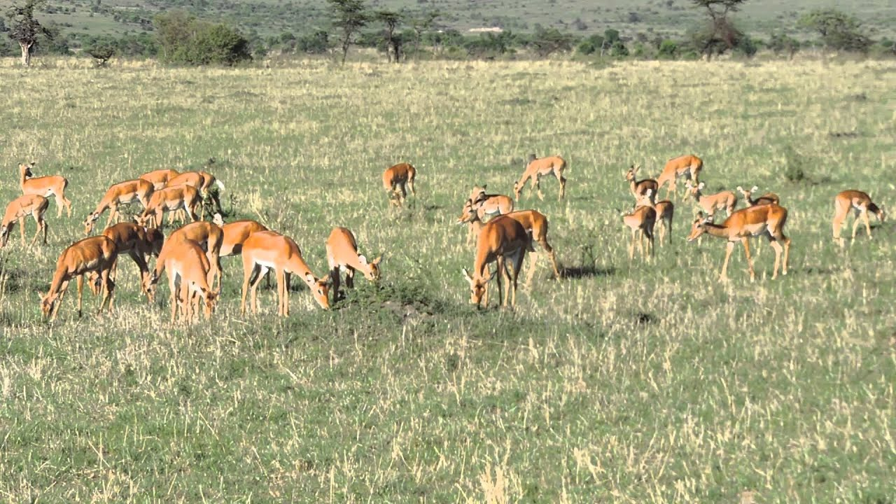 A herd of Impalas in Masai Mara-Kenya Adventure Wildlife Safaris.Courtesy YHA Kenya Travel