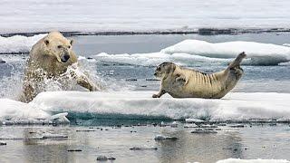 Repeat youtube video Un ours polaire affamé surprend un phoque - ZAPPING SAUVAGE