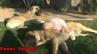 赤ちゃんを再生し、保護するMastiff犬ビデオ編集2016 - おかしい犬と赤...