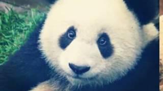 10 Самых милых фото панд ♥♥♥