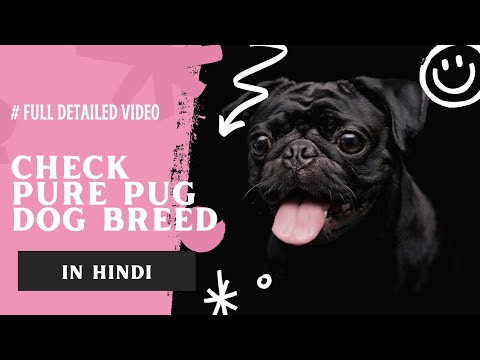 How to check pure pug dog breed in hindi