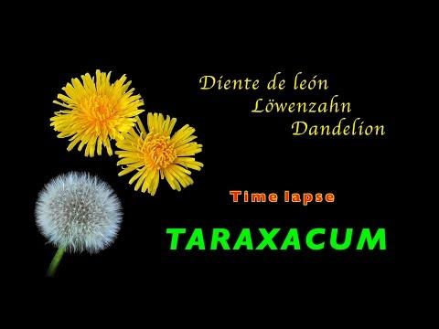 Löwenzahn, dandelion, diente de león, taraxacum, time lapse, 4K