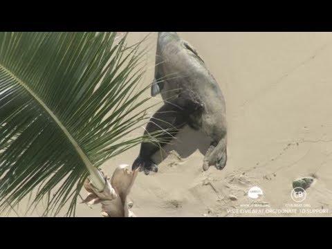 Hawaiian Monk Seals Rocky and Kaimana July 31, 2017