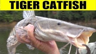 TIGER CATFISH - Amazon RIver Monsters