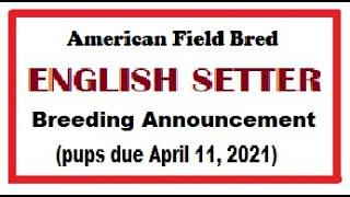 English Setter Breeding Announcement