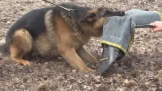 немецкая овчарка 12 мес. занятия на охрану за 1 месяц