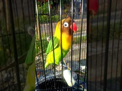 Dijamin love bird dewasa langsung fighter