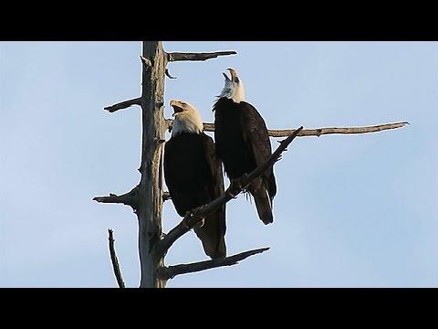 Bald Eagles Calling ~ Stanley Park, Vancouver
