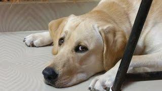 What happens when a Labrador dog feels jealous???
