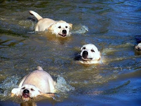 Labrador Father Teaches Puppies To Swim ADORABLE