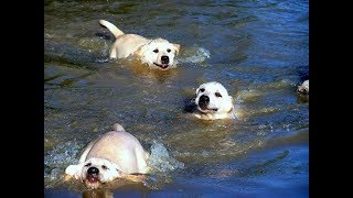 Labrador Father Teaches Puppies To Swim ADORABLE!!