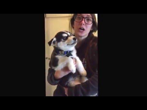 Купить щенка хаски - питомник Легион Хасгард