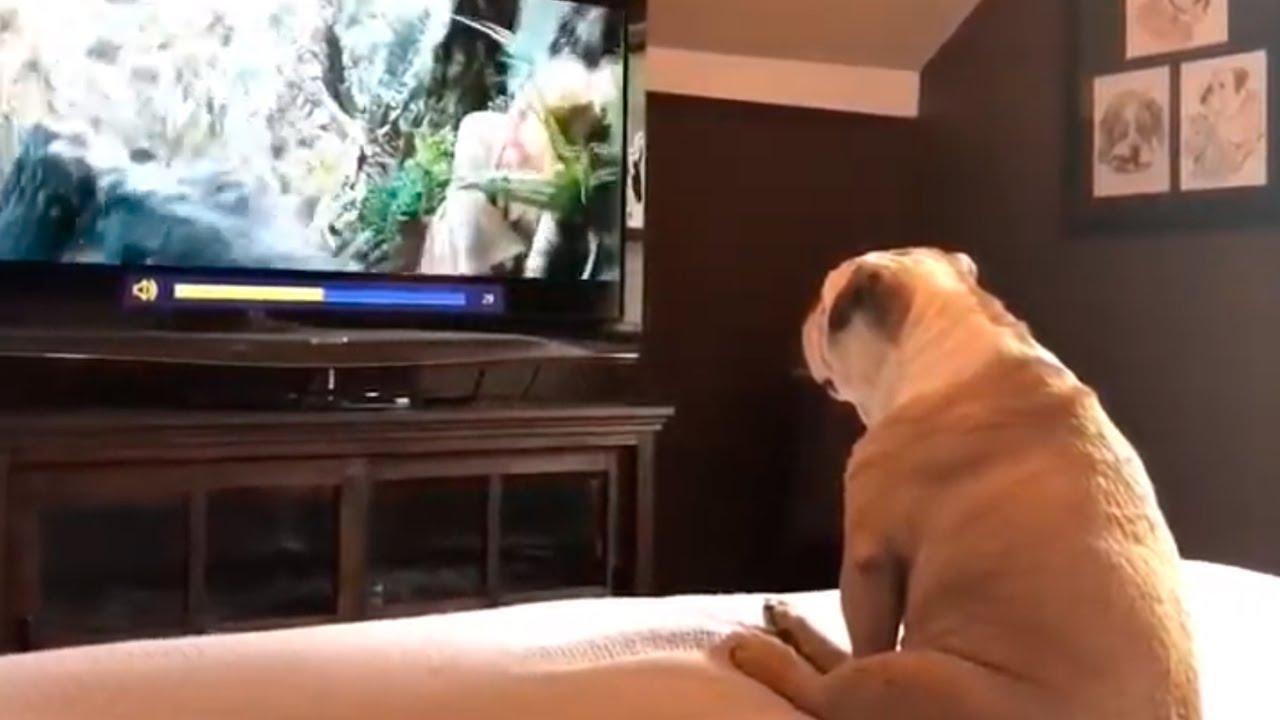 Divertida reacción de Bull dog