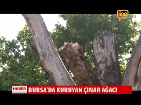 Bursa'da Kuruyan Çınar Ağacı  03 Haziran 2015