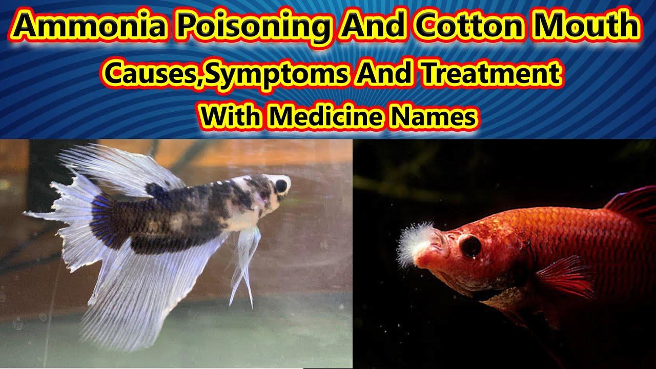 மீனிற்கு வரும் நோய்கள் 1: Ammonia Poisoning And Cotton Mouth Disease | Medicine/ Fish Aquarium Tamil