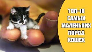 ТОП-10 самых маленьких пород кошек в мире