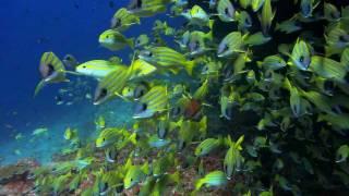 Видео обои - Желтые рыбки