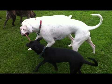 Whippet mix and 2 Boxers playing with a stick