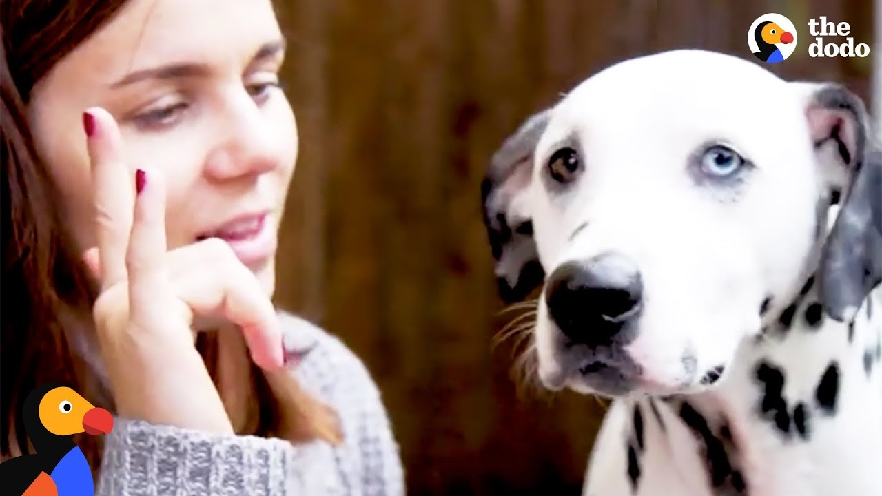 Deaf Dalmatian Rescued by Mom Who Learns Sign Language for Him