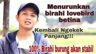 Download lagu Menurukan Birahi Lovebird Betina!!