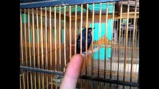 sri gunting burung antik,kicau modern wkwkwk