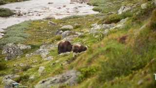 Musk Oxen at Dovrefjell, Norway