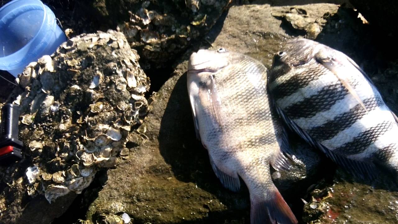 Sheepshead fishing tips and tricks youtube for Fishing tips and tricks