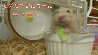 ごんちゃん : シャキシャキ! ごんちゃんはお野菜大好きです。 キャベツ...