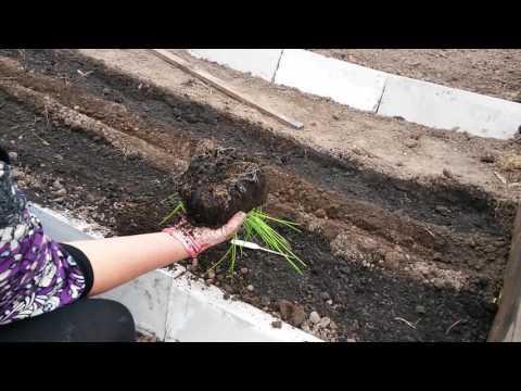 Как сеять морковь. Быстро и просто!!!