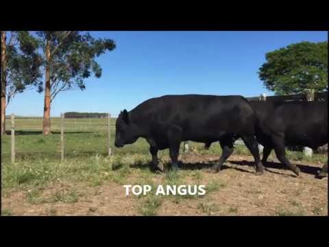 Angus Top