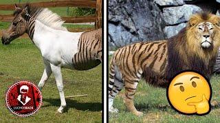 TOP 10 ANIMALES HIBRIDOS QUE NO CREERAS QUE EXISTEN