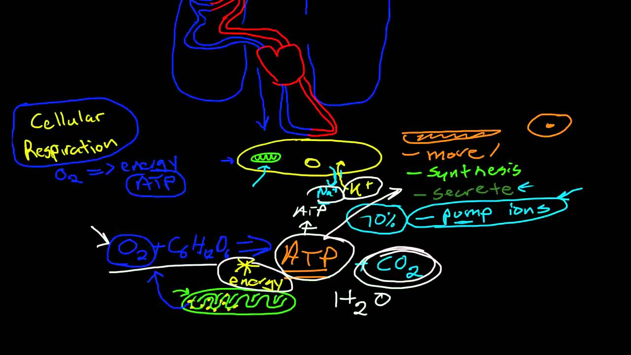 Introduction to Anatomy & Physiology: Phases of Respiration - YouTube