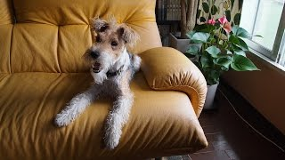 "Wire Fox Terrier ""Nana"" is searching for cool and cozy water. Her b..."
