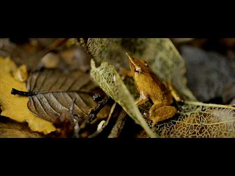 ARAUCARIA ARAUCANA   Trailer