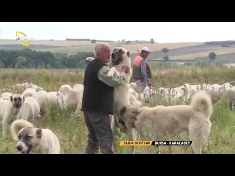 Çoban Köpeklerinin Sürüdeki Görevleri / Sadık Dostlar