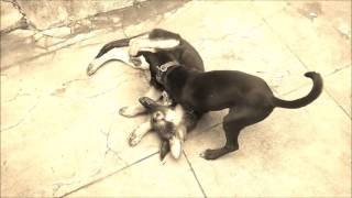 Download Hindi Video Songs - Two dogs playing on Dhaakad song from Dangal movie/ Raftaar 2016