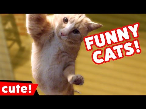 Funniest Cat Videos Weekly Compilation January 2017 | Kyoot Animals