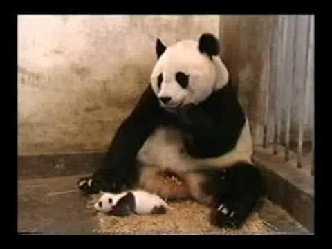Yavru Panda Hapşiriyor Youtube