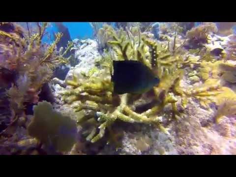 Three Spot Damselfish Attacks The Camera