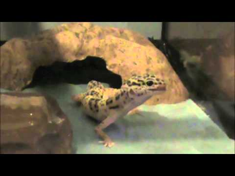 Force Feeding Leopard Gecko Baby Food