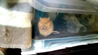 うちのネズミは、安心してご飯食べている時、不細工な顔をしている。